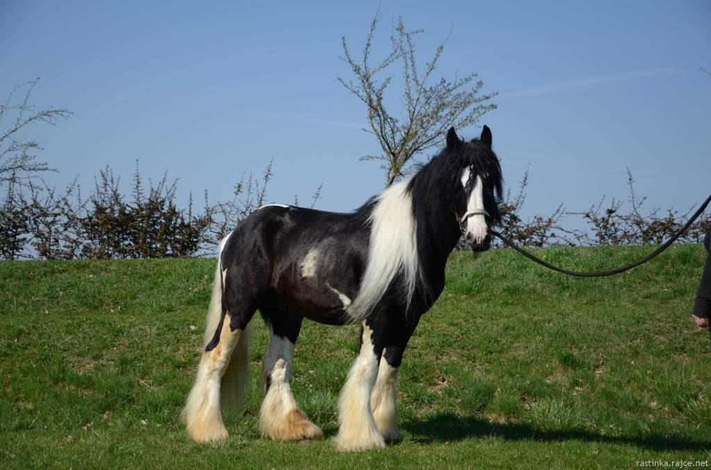 Mr. Dickens, irish cob